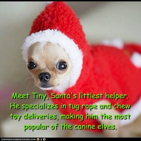 Meet Tiny, Santa's littlest helper.  He specializes in tug rope and chew  toy deliveries, making him the most popular of the canine elves.
