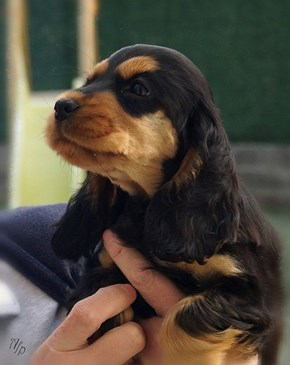 Cyoot Puppy ob teh Day: Lil Cocker Spaniel