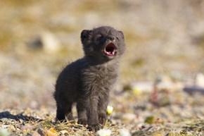 Howling Arctic Fox