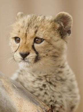 Squee Spree: Cheetah Cub