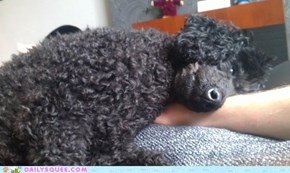 Colin the Miniature Poodle
