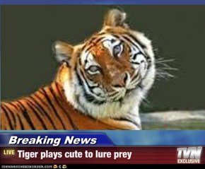 Breaking News - Tiger plays cute to lure prey