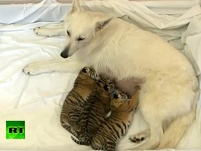 Around the Intehepherd Dog Becomes Mom to Three Tiger Cubs