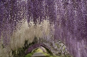 The Flower Tunnel of Wisteria Gardens, Japan