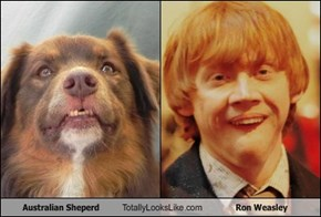 Australian Sheperd Totally Looks Like Ron Weasley