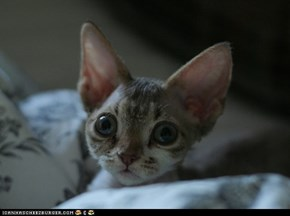 Cyoot Kitteh of teh Day: Those Eyes!  Those Ears!  THAT FACE!!!