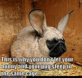 This is why you don't let your bunny and your pug sleep in the same cage