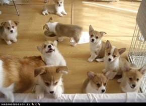 I Has A Hotdog: Cyoot Puppy ob teh Day - A Pack of Corgis