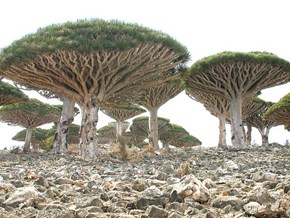 Dragon's Blood Tree, Socotra Island, Yemen
