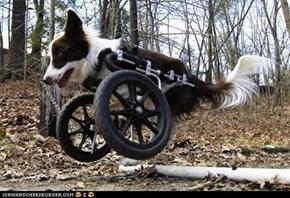 Like a Boss: Roosevelt, the Two-Wheeled Dog