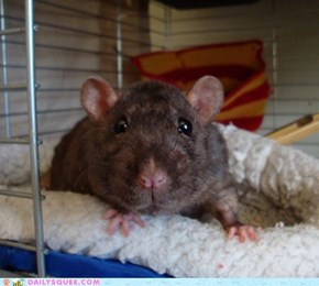 Rat close-up with a wide-angle lens