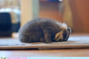 Raccoon Collapse