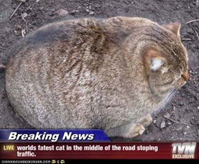 Breaking News - worlds fatest cat in the middle of the road stoping traffic.