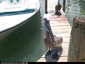 pesky pelican :)