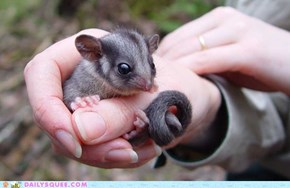 Leadbeater Possum Baby