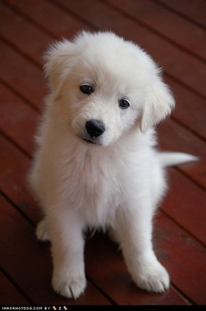 Goggie ob teh Week: Sweet Puppy Eyes
