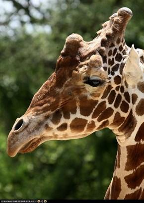 Unimpressed Giraffe...