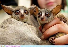 Newborn Senegal Bush Babies, born at the Prague Zoo