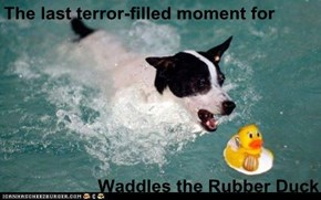 The last terror-filled moment for  Waddles the Rubber Duck