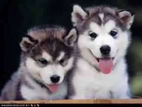 Cyoot Puppy ob teh Day: Siberian Fluffers