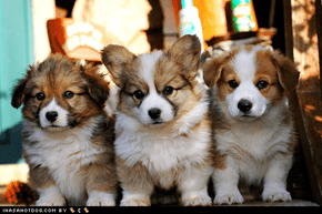 Cyoot Puppy ob teh Day: Floofy Corgis