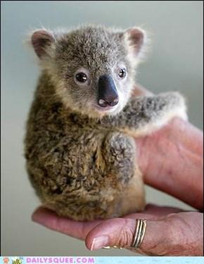 Hand Held Koala