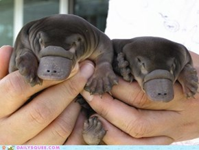 Squee Spree: Pudgy Babies
