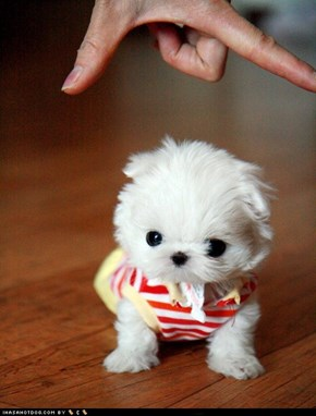Cyoot Puppy ob teh Day: Tiny Pup