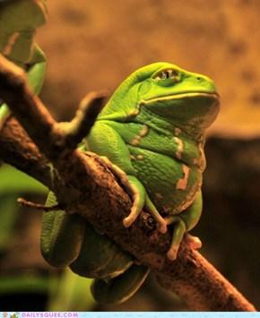 Supreme Chubby Frog