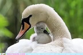 Mamma & Baby Swan