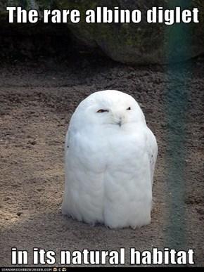 The rare albino diglet  in its natural habitat