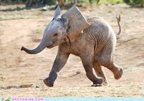 Prancing Baby Elephant
