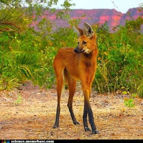 Maned Wolf: Neither Wolf Nor Fox