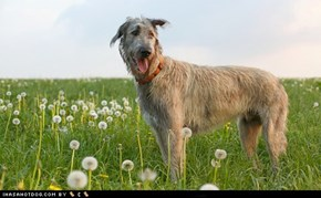 Goggie ob teh Week FACE OFF: Irish Wolfhound