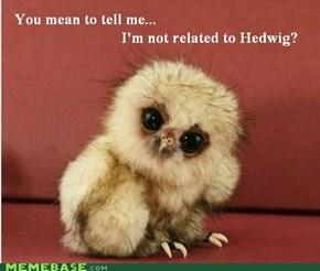 Skeptical Owlet