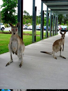 So On Top of Deadly Snakes, Spiders, and Jellyfish, Australia Has Zombie Kangaroos?
