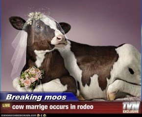 Breaking moos - cow marrige occurs in rodeo