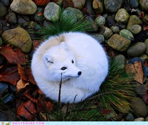 Arctic Furball