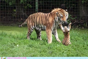 Playful Tiger Cub