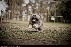 Cyoot Puppy ob teh Day: Run Fluffy! Run!