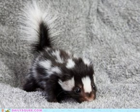 Spotted Baby Skunk