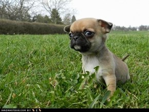 Cyoot Puppy ob teh Day: Puggle