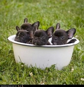 Cyoot Puppy ob teh Day: Bowl of Frenchies