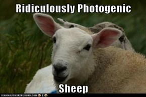 Ridiculously Photogenic  Sheep