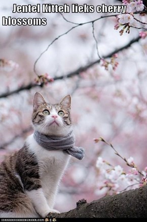 Jentel Kitteh lieks cherry blossoms