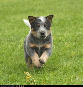 Goggie ob teh Week: Herding Puppy
