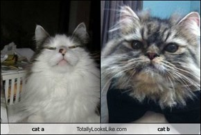 cat a Totally Looks Like cat b