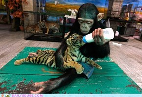 Interspecies Love: Chimp Nursing a Tiger Cub