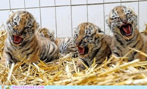 Growly Cubs