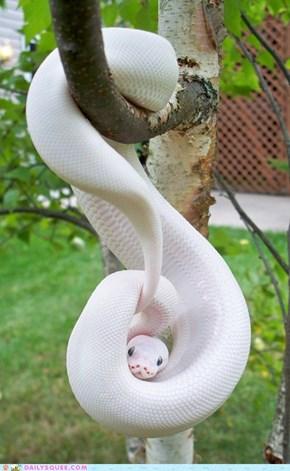 O Hai - Albino Python
